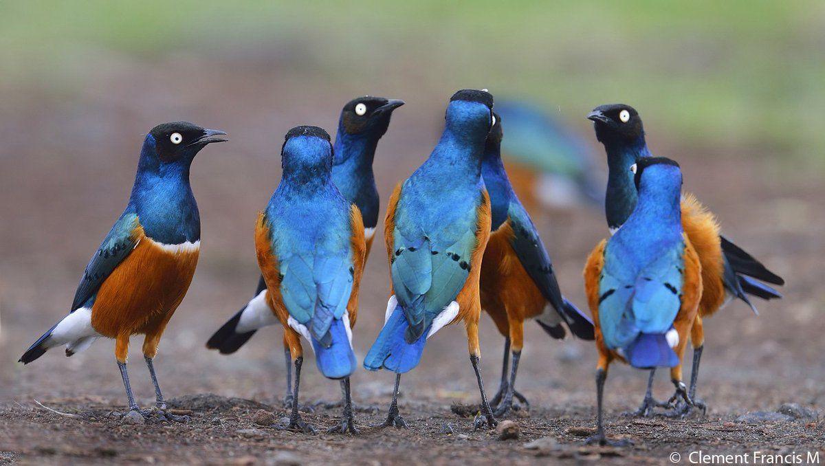 Superb Starling_Masai Mara_Kenya