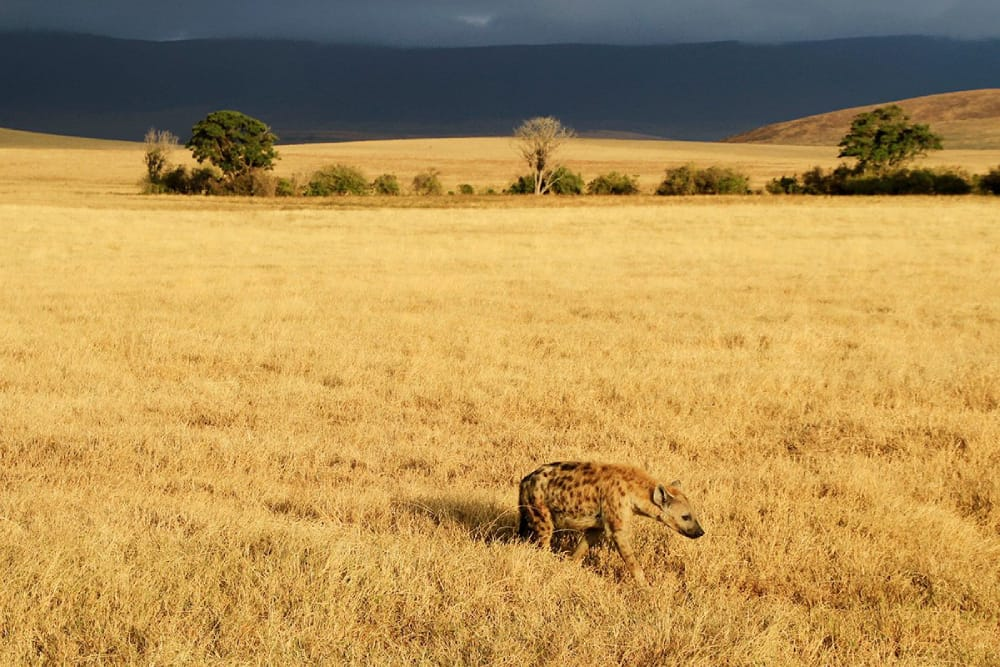 hyena in the ngorongoro serengeti safari