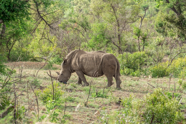 Kruger National Park_rhino