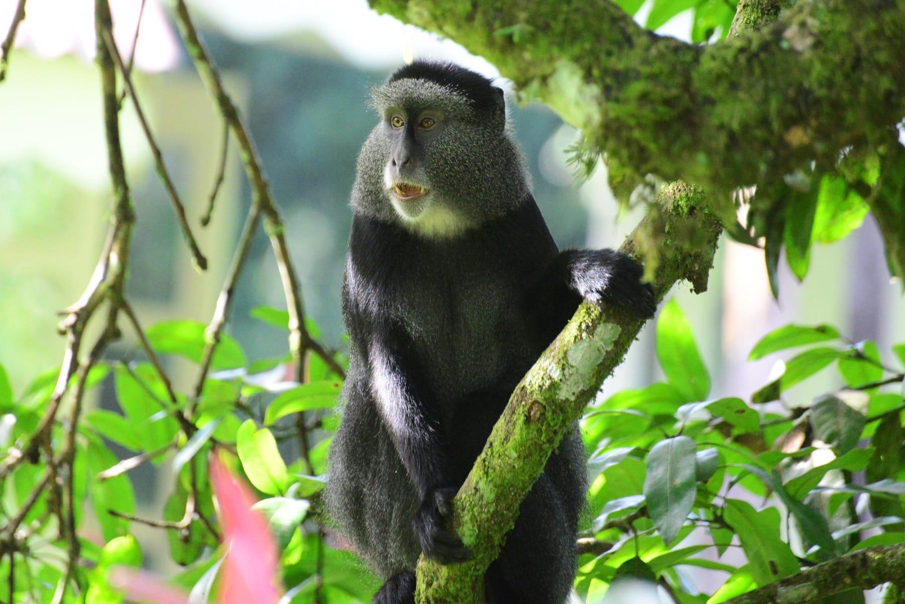Blue-Monkey-Kakamega-Forest-National-Reserve-Kenyas-Forest-Parks
