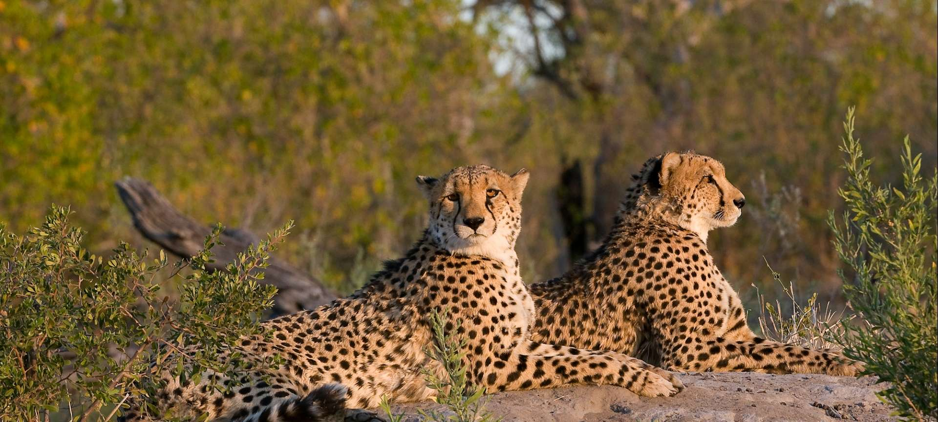 Cheetah relaxing before a big hunt