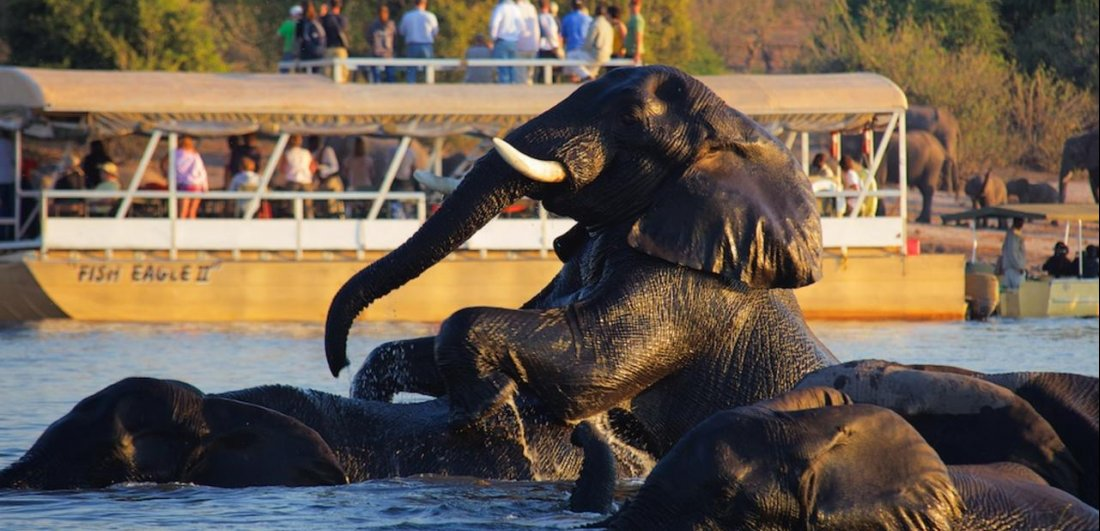 The Chobe river is famous for its thirsty elephant sightings