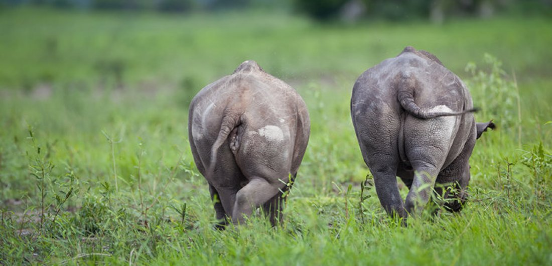 Rhino in Botswana