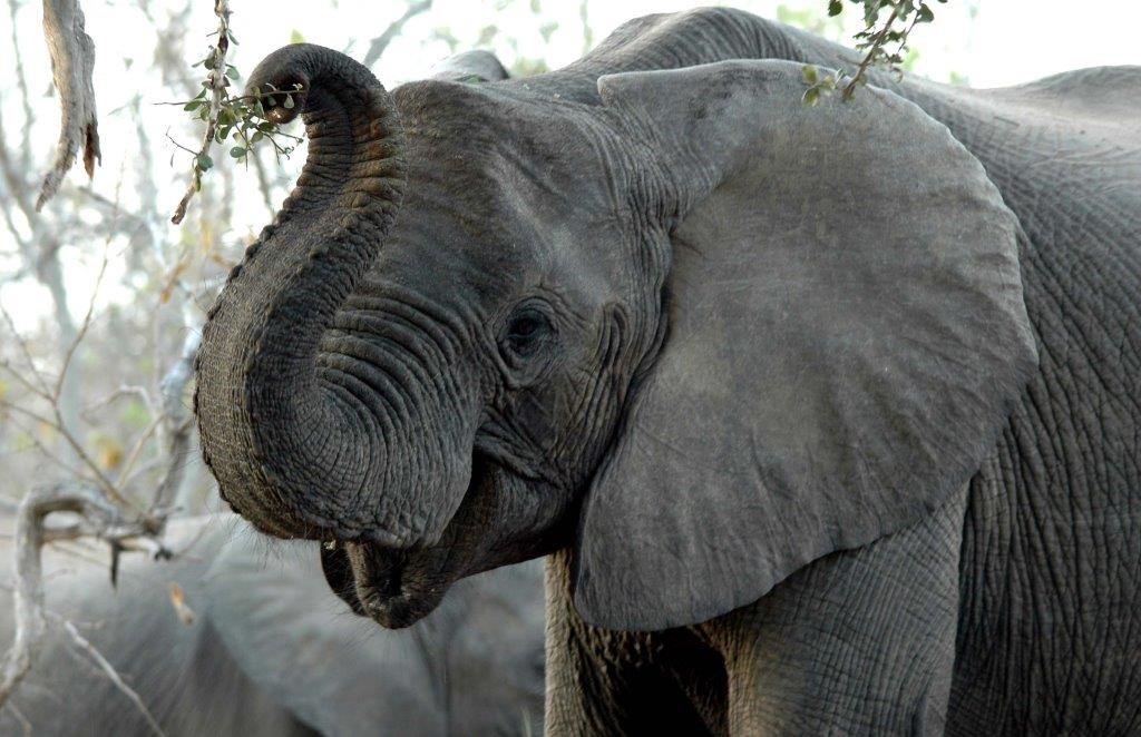 Elephant are bountiful in certain parts of Botswana