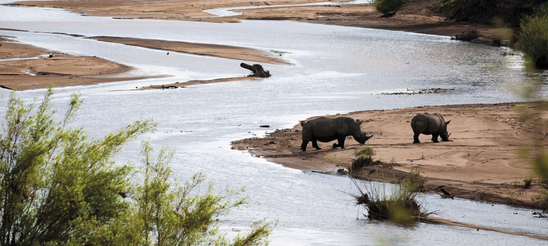 Rhino along the banks of the Khwai River