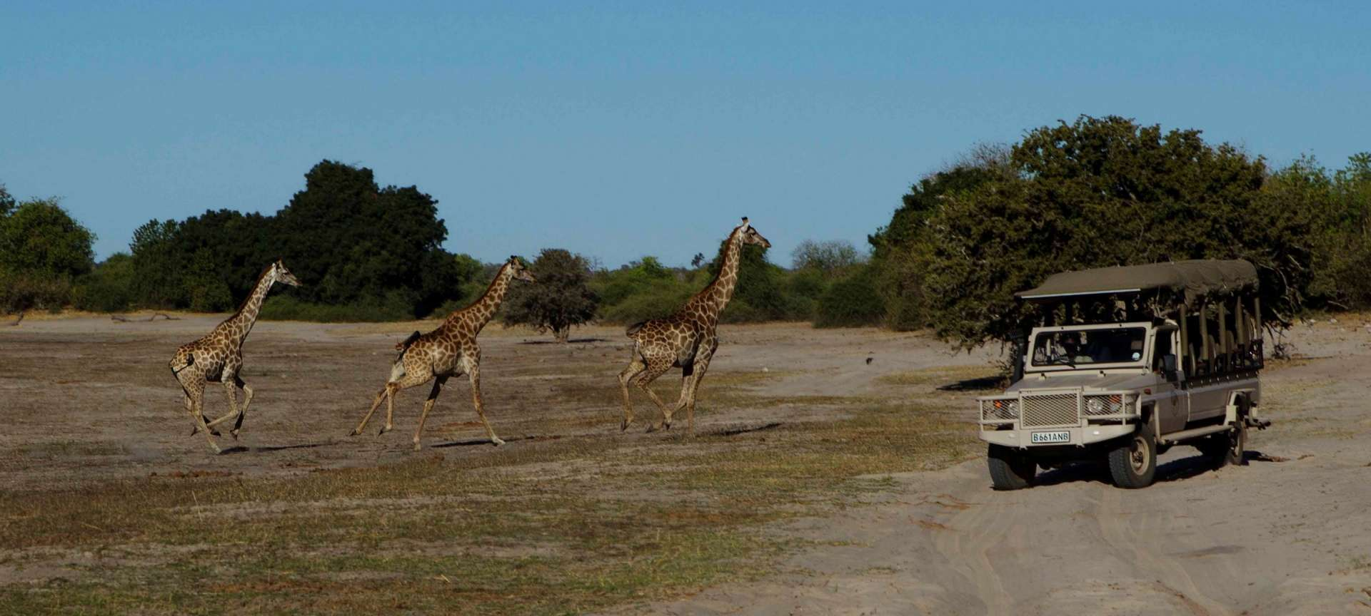 Giraffe running across the path in Botswana