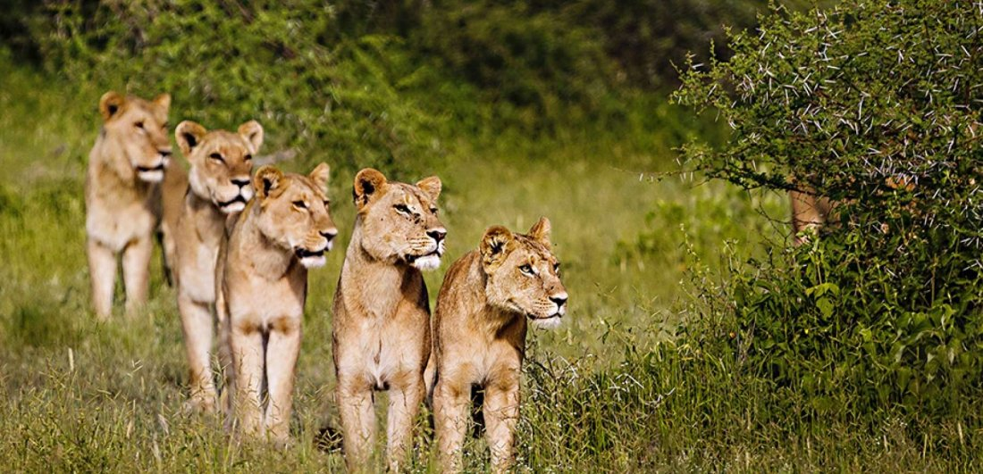 Lion are prevalant in Botswana