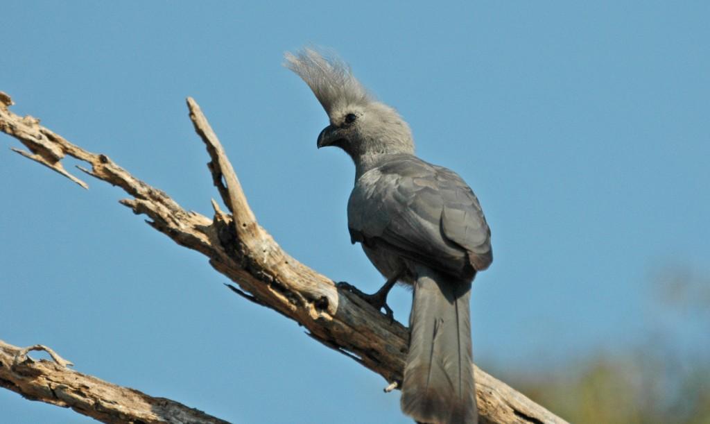 The Grey go-away bird, as seen in Botswana