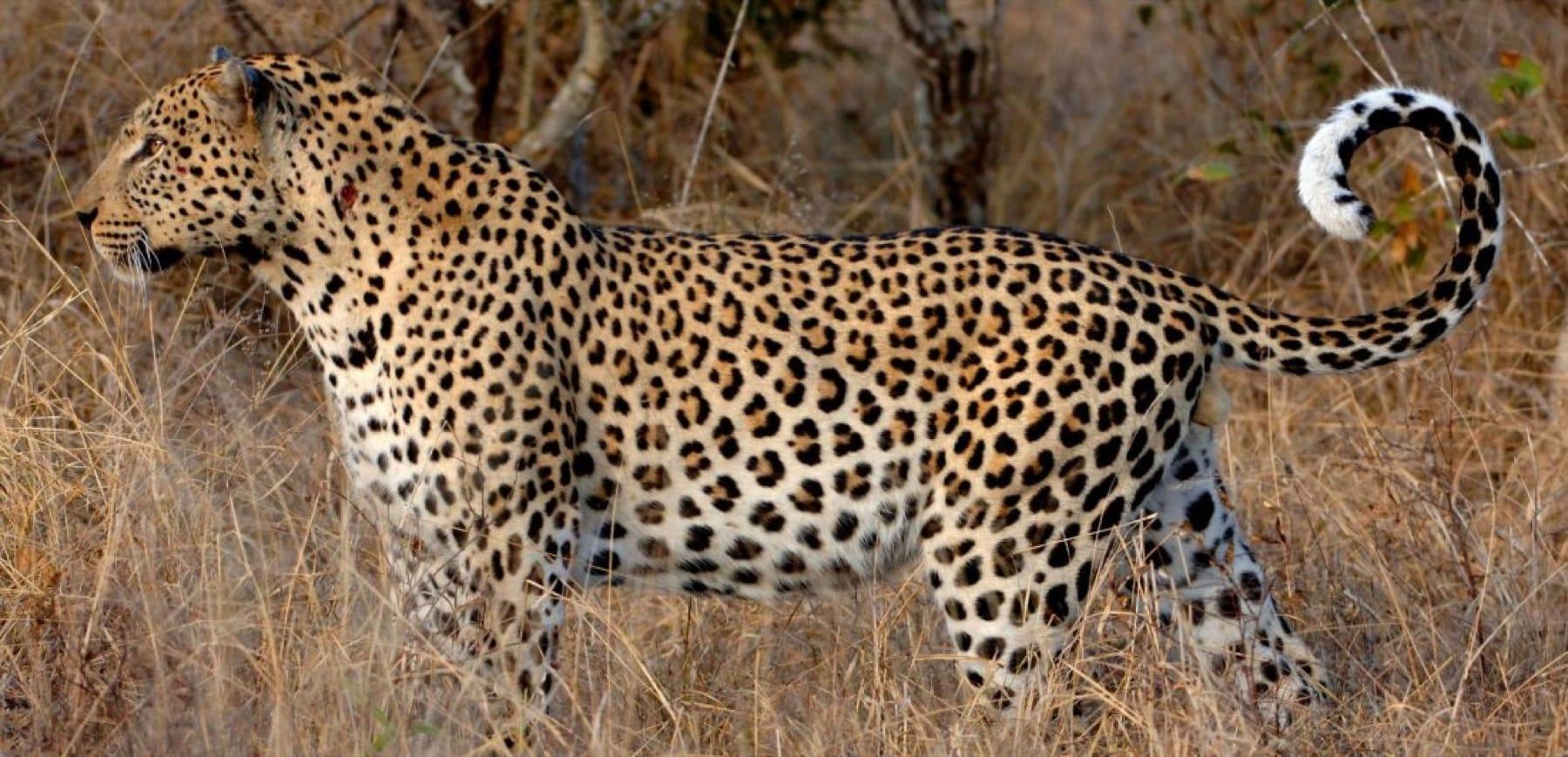 The intrepid leopard botswana wildlife safari