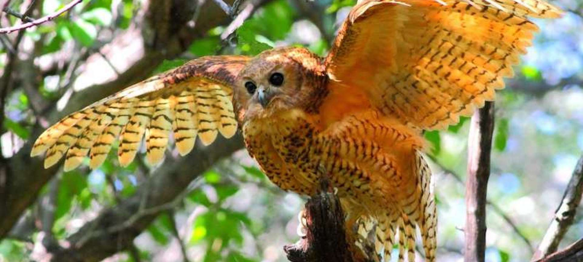 The Pels fishsing owl is an amazing bird of prey