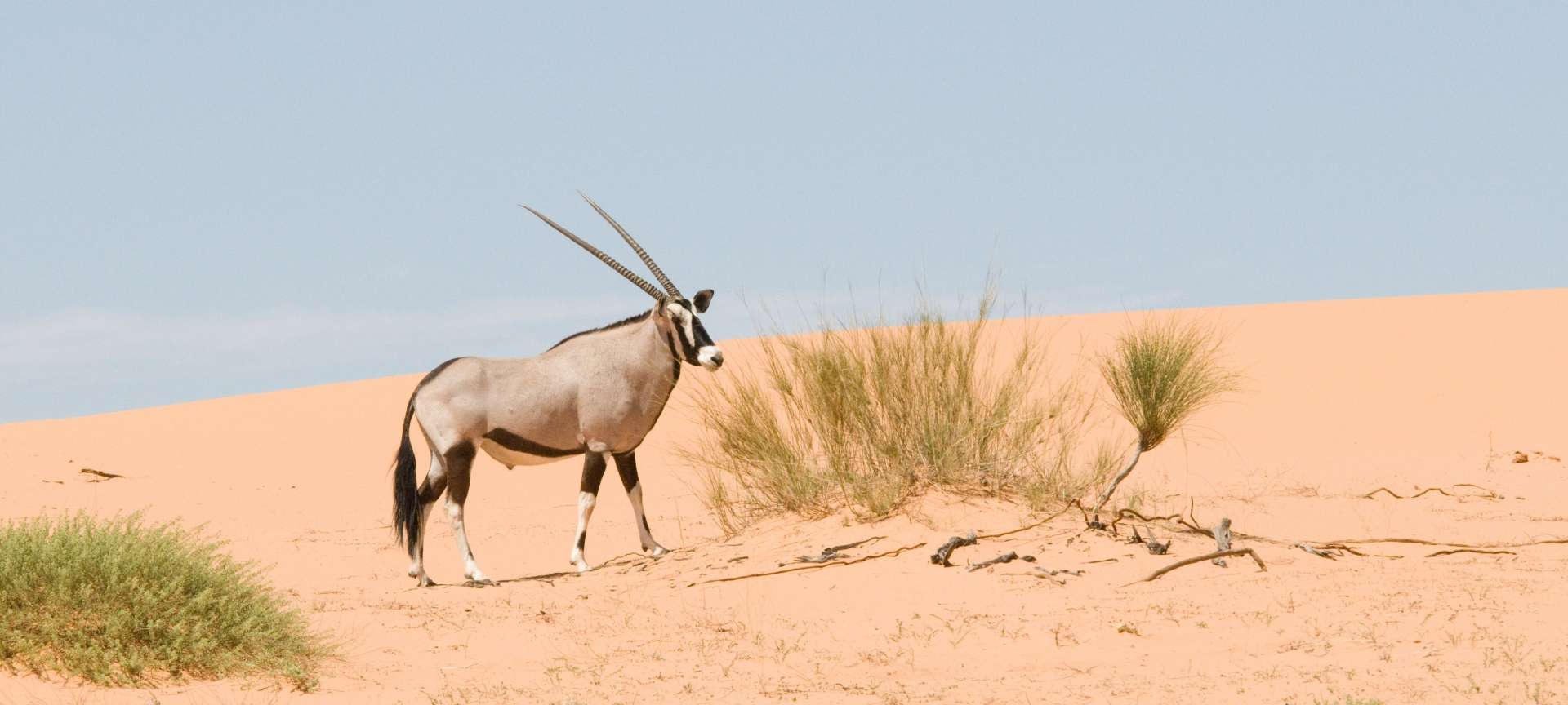 The oryx strikes a formidable pose against the backdrop of the Kalahari Desert