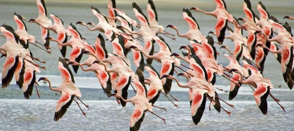 Flamingoes in flight at Nata Bird Sanctuary