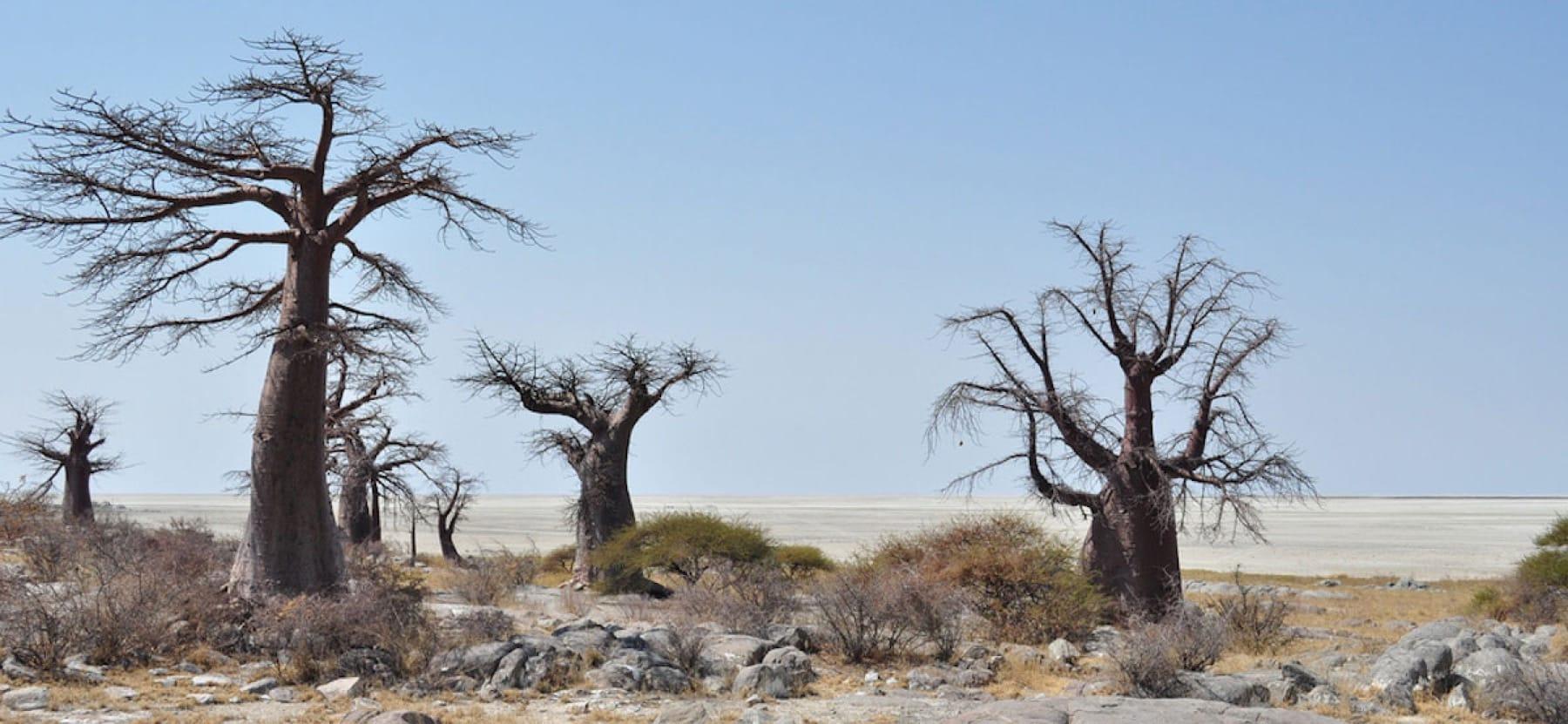 The baobabs on Kubu Island