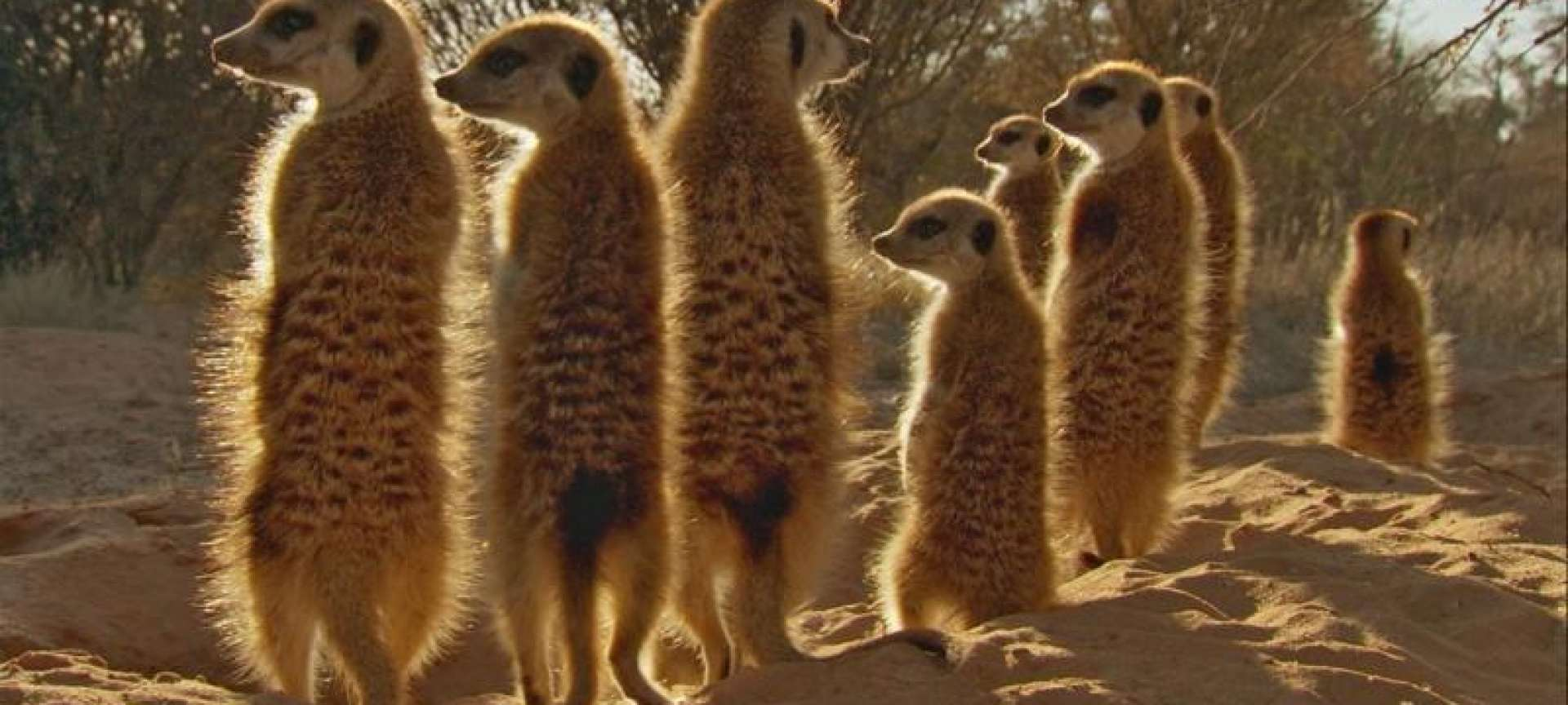 walking with meerkats is a great family safari experience