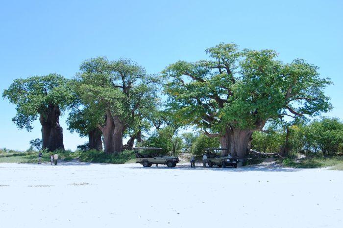 The famous baobabs of Botswana