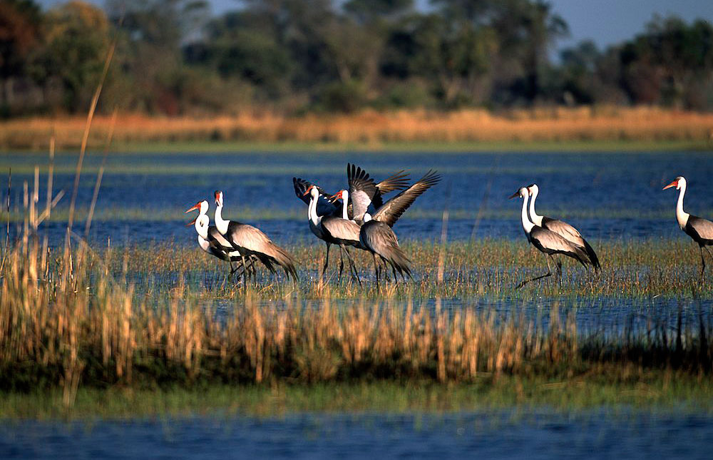 Birdlife in Moremi