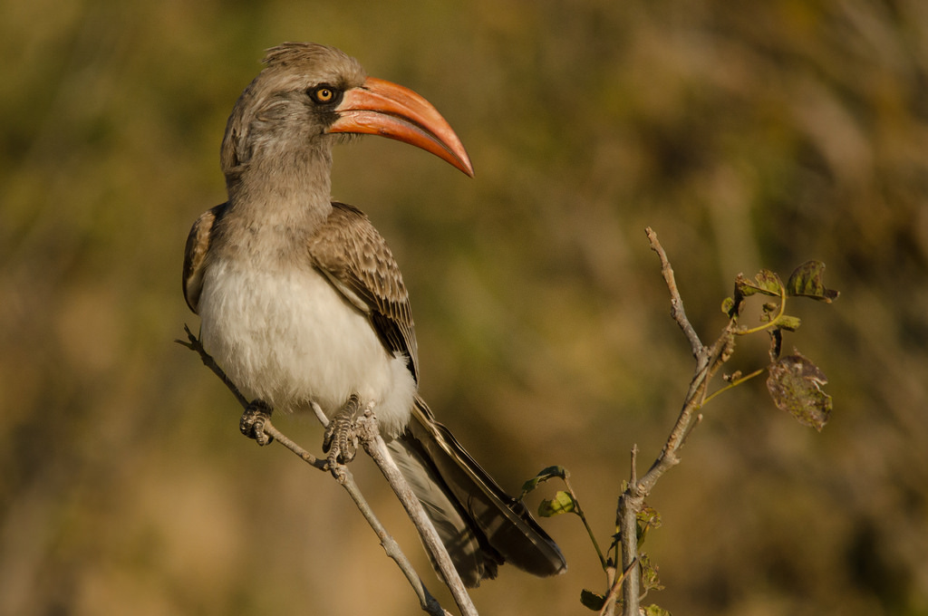 Bradfield's Hornbill is widespread throughout Chobe National Park