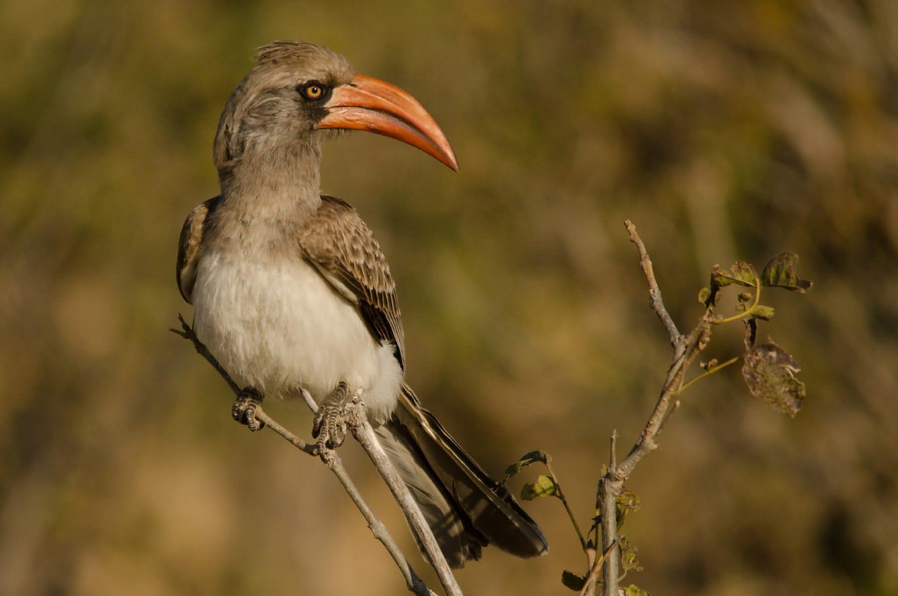 Bradfield's Hornbill is widespread throughout Chobe National Park
