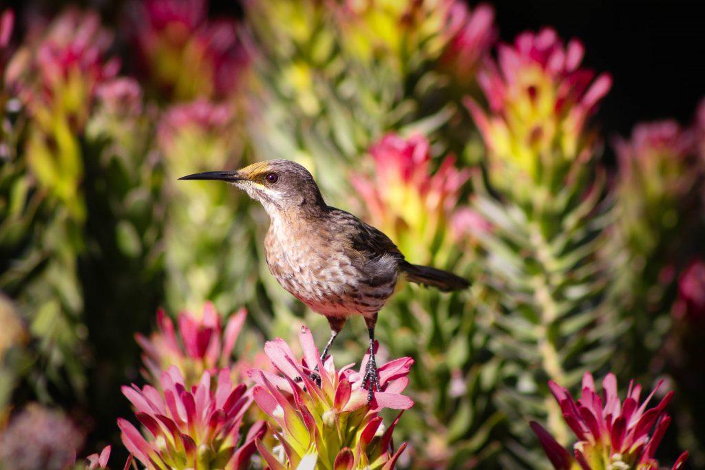 The Garden Route_Cape Sugarbird