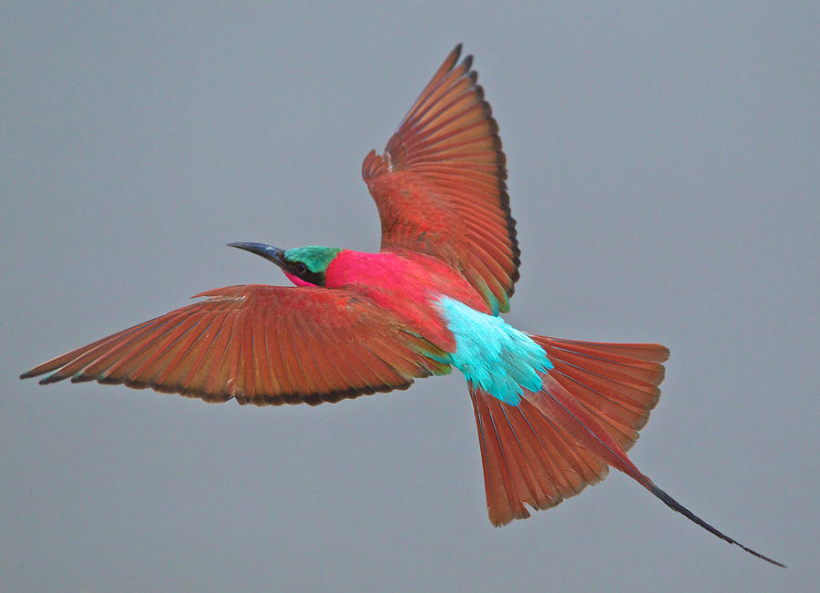The Carmine bee-eater is a vibrant bird