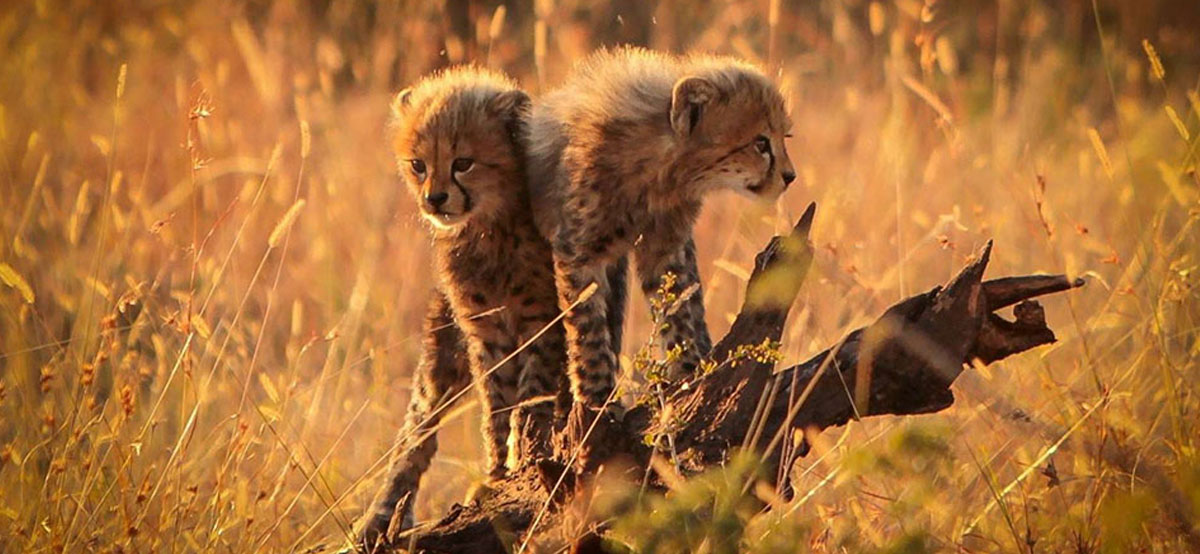 Kruger National Park_Cheetah cubs