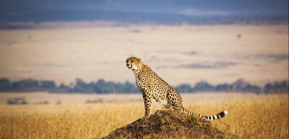 Cheetah in the Masai Mara Reserve