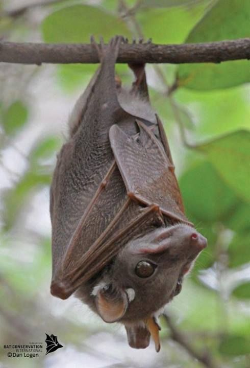 The amazing Peter's Dwarf epauletted fruit bat  Credit:Dan Logan