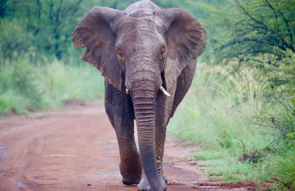 Kruger National Park_Elephant