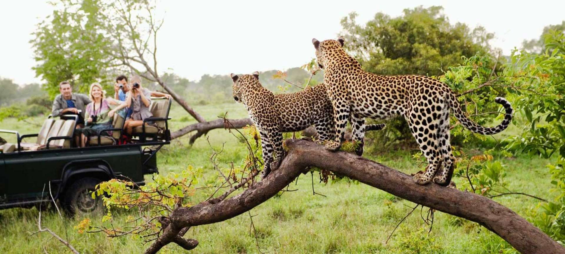 Leopards in the Kruger National Park