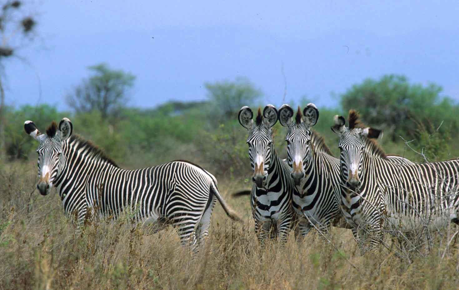 Grey zebra in Meru National Park