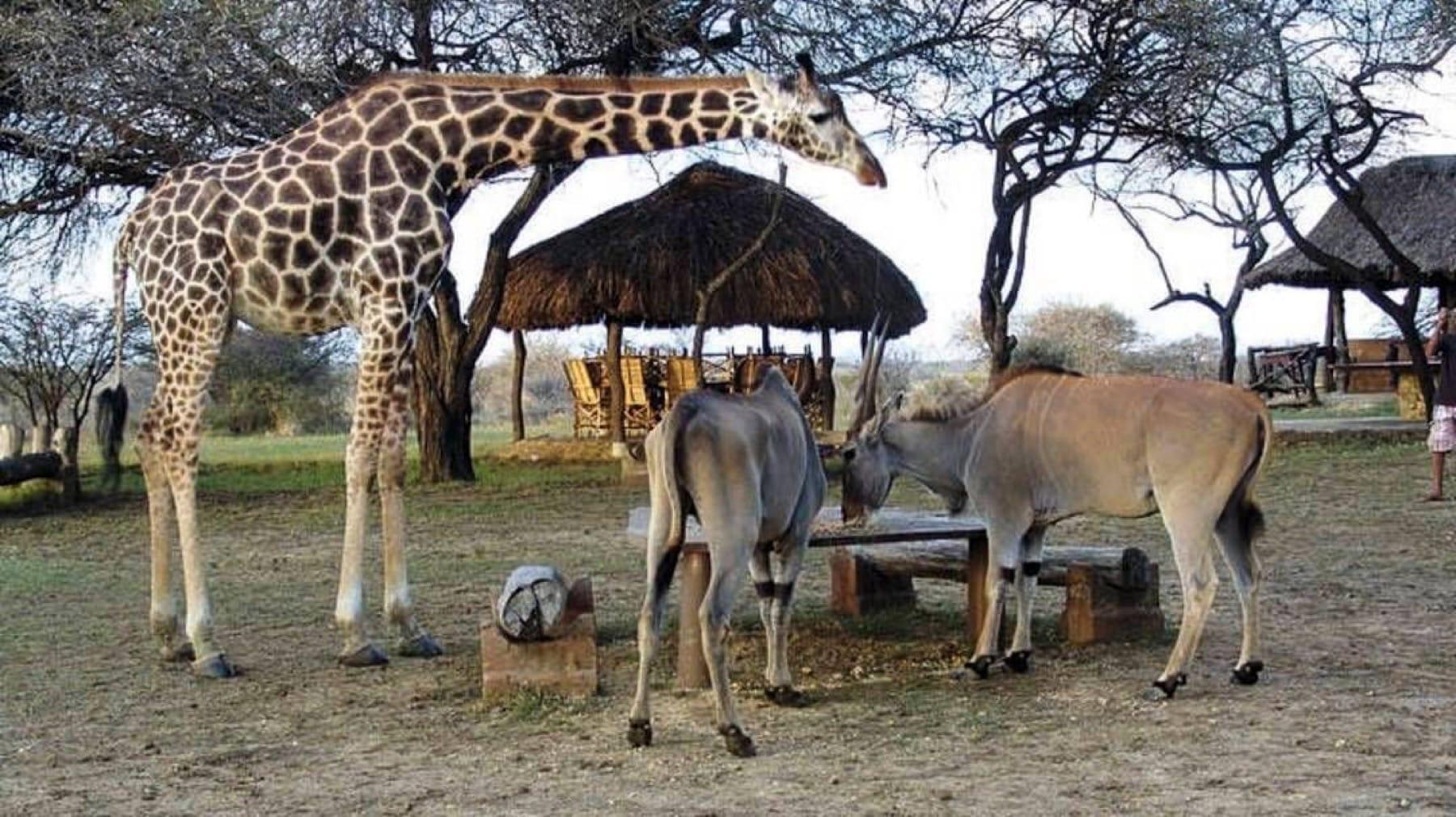 Giraffes_Haller Park_Kenya