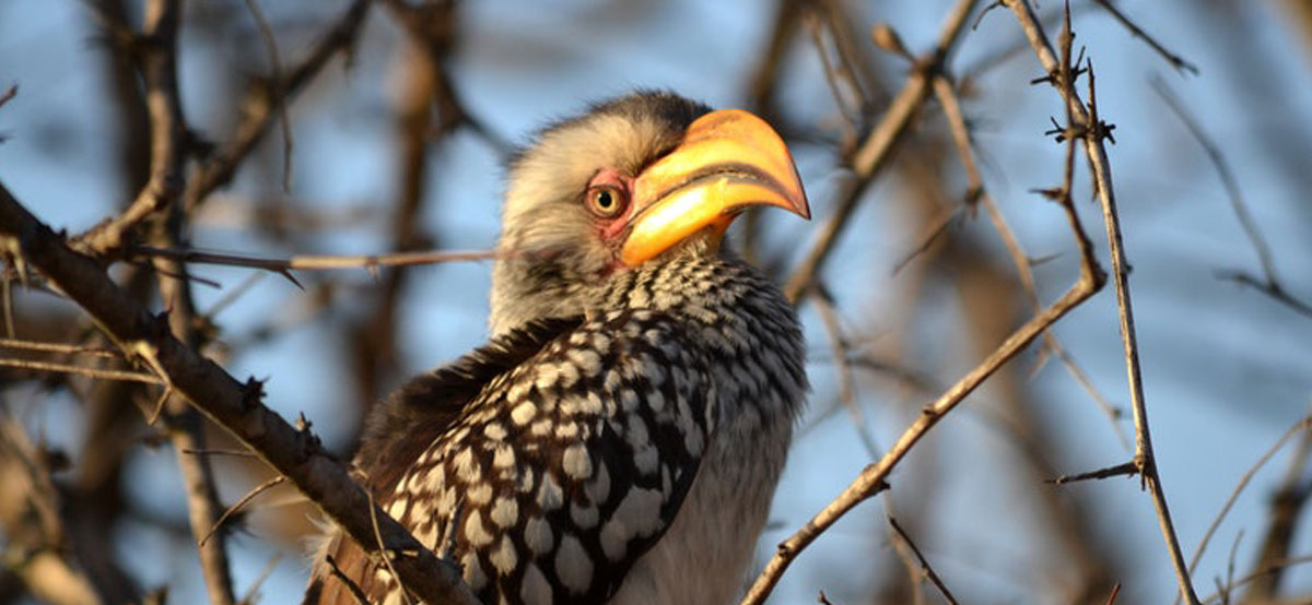 Gauteng, Kruger and the North_Hornbill