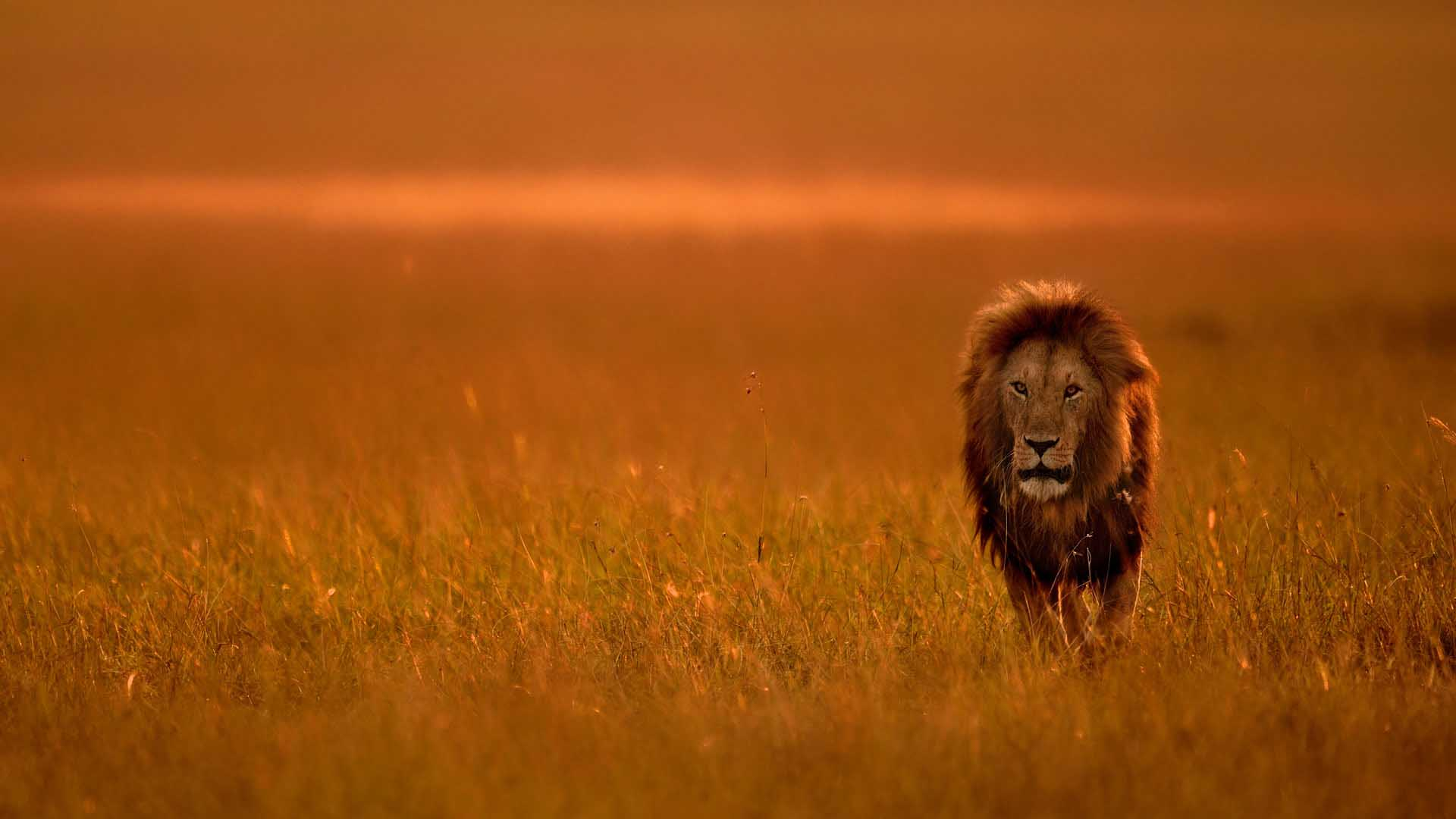 Male lion in Kenya