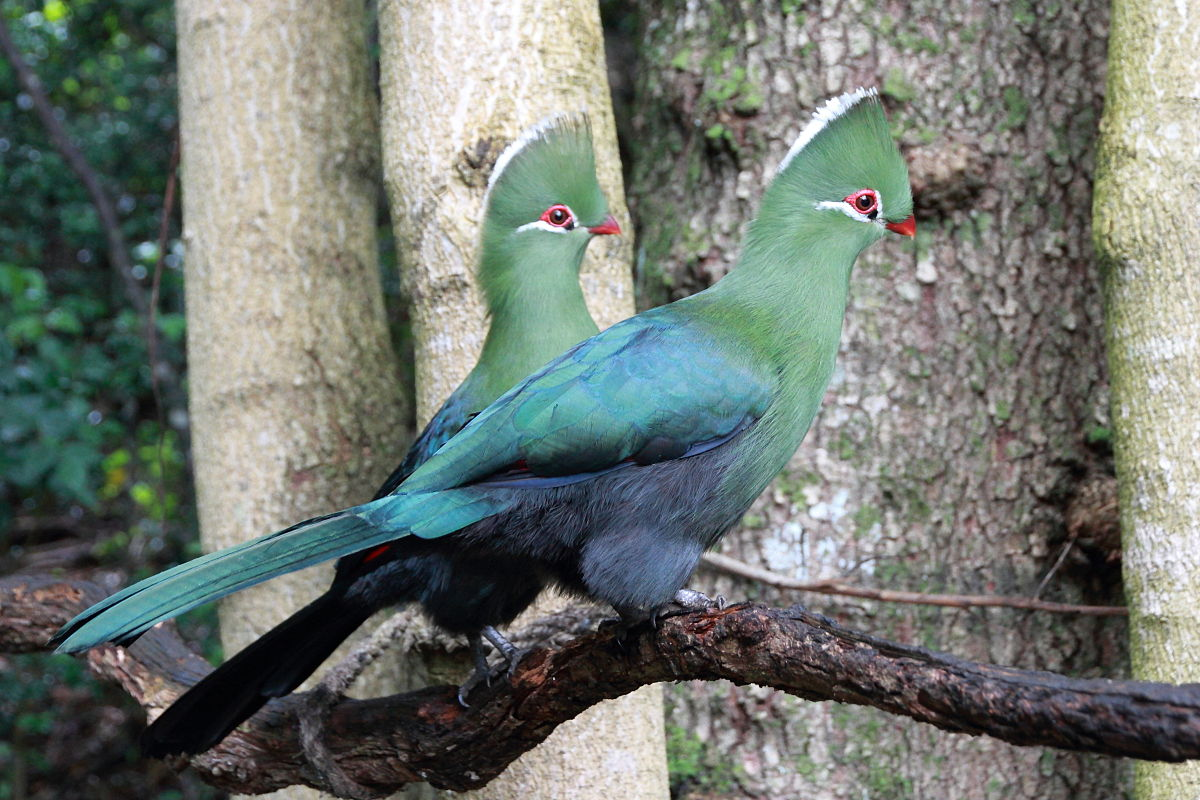 Wildlife in South Africa_Birds_Knysna Turaco