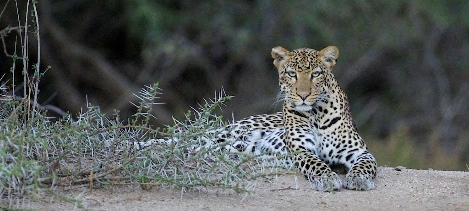 Wildlife in South Africa_Leopard
