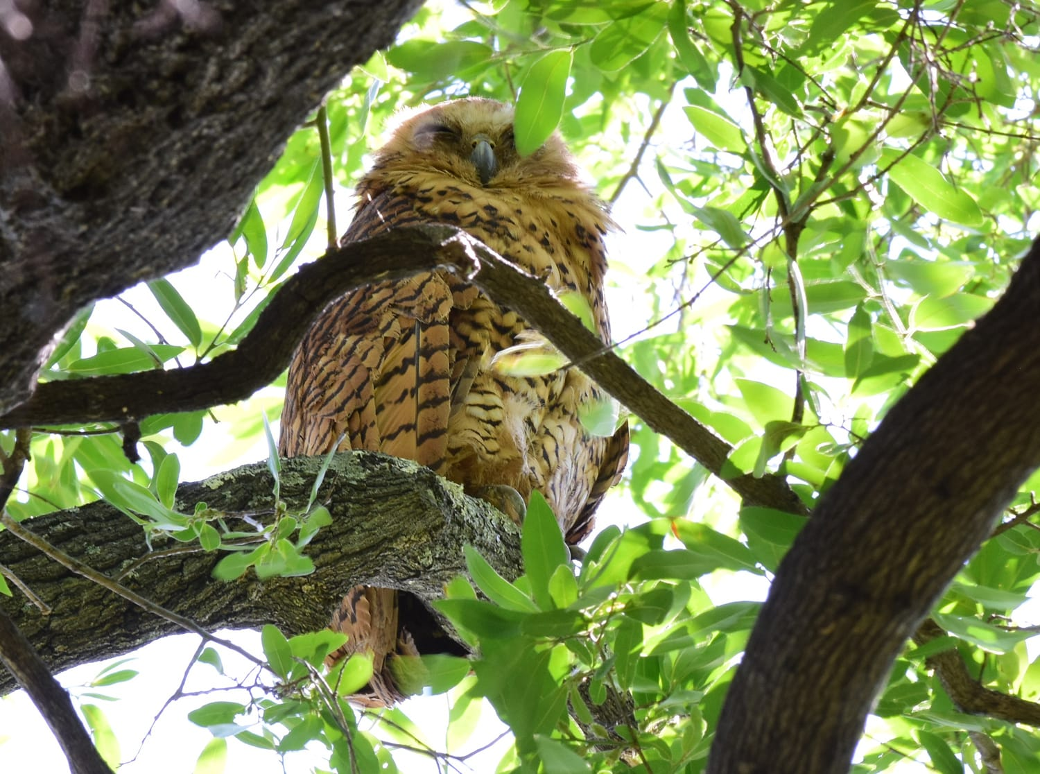 Kruger National Park_Pels Fishing Owl
