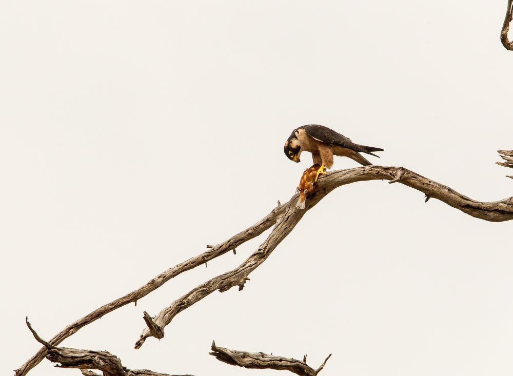 taita falcon HBW Live
