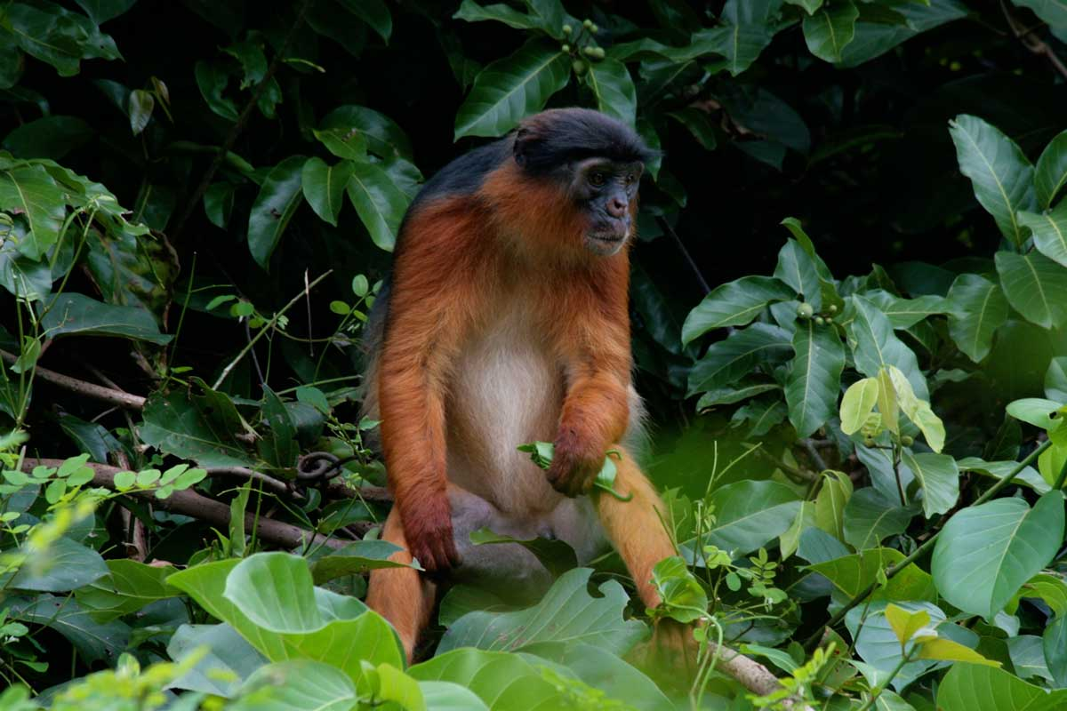 Tana-River-red-colobus-monkey