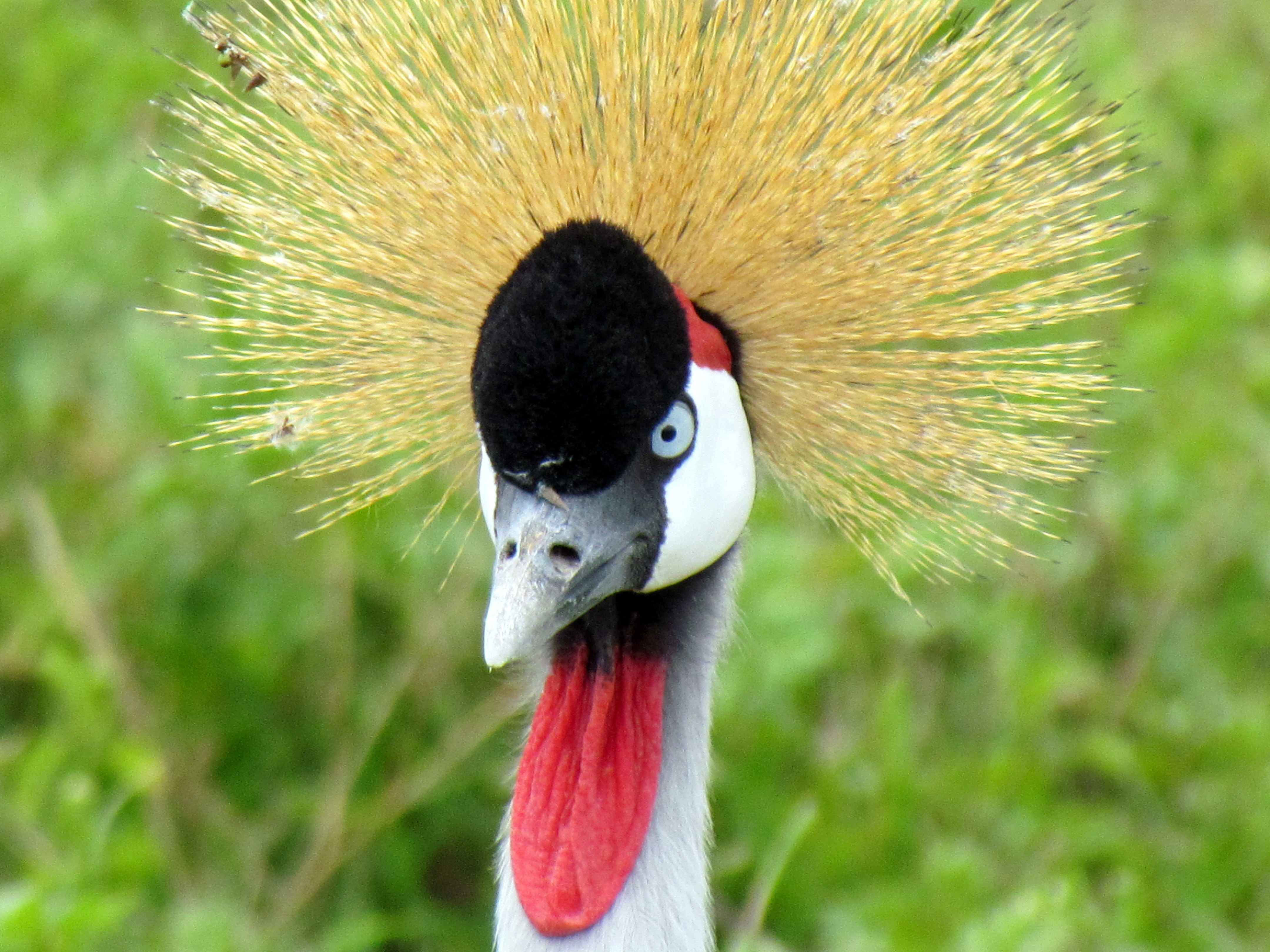Grey crowned crane is a common sight in Tanzania