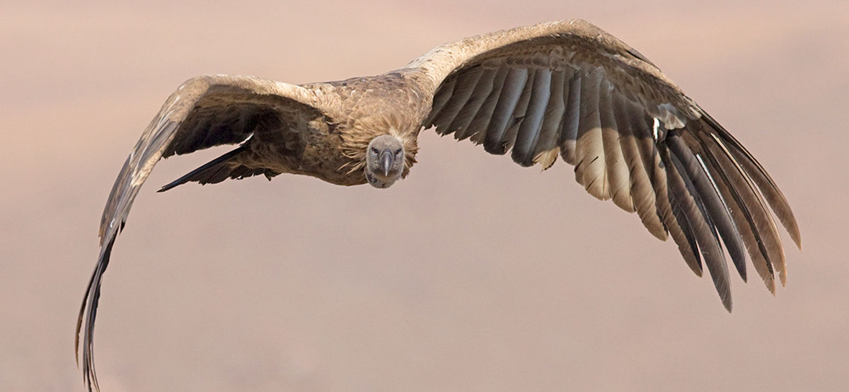 Durban and the South Coast_Cape Vulture
