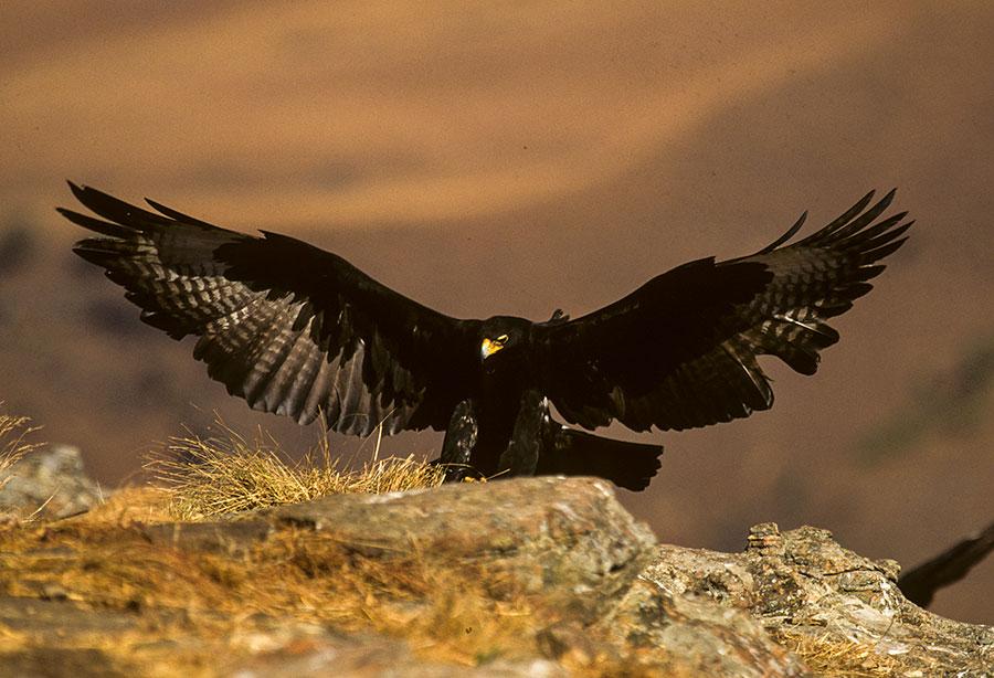 uKhahlamba-Drakensberg Park_Verreaux Eagle