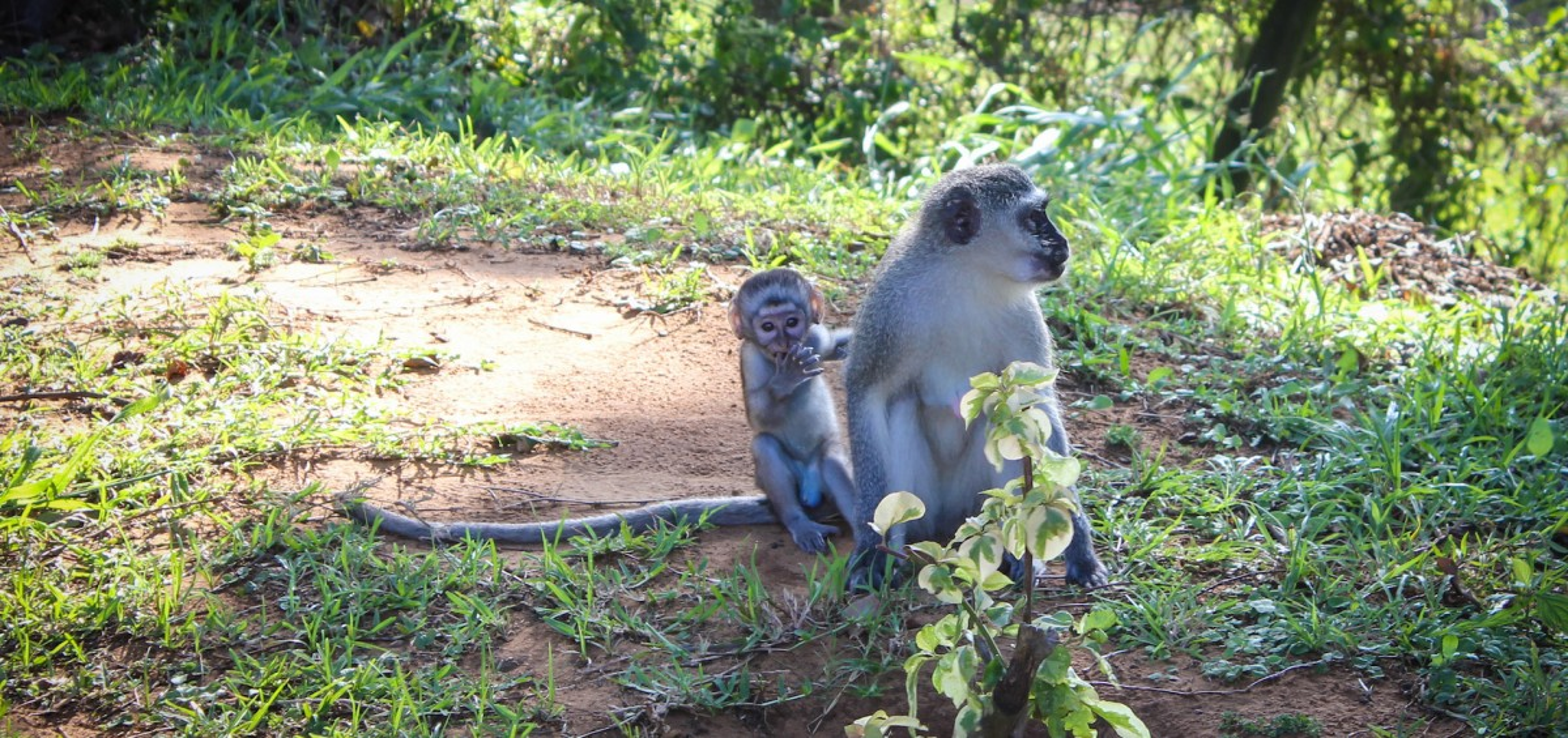 iSimangaliso Wetland Park_Vervet Monkey