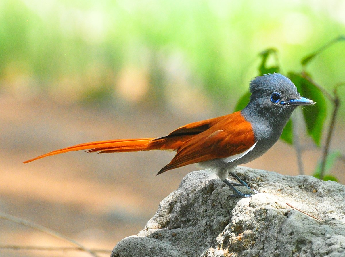 The African paradise flycatcher can be seen in and around Vic Falls