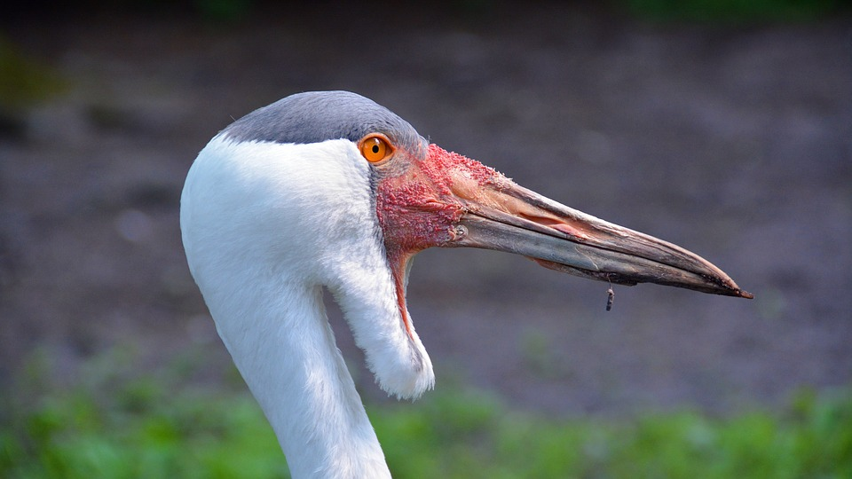 Wattled cranes are rare