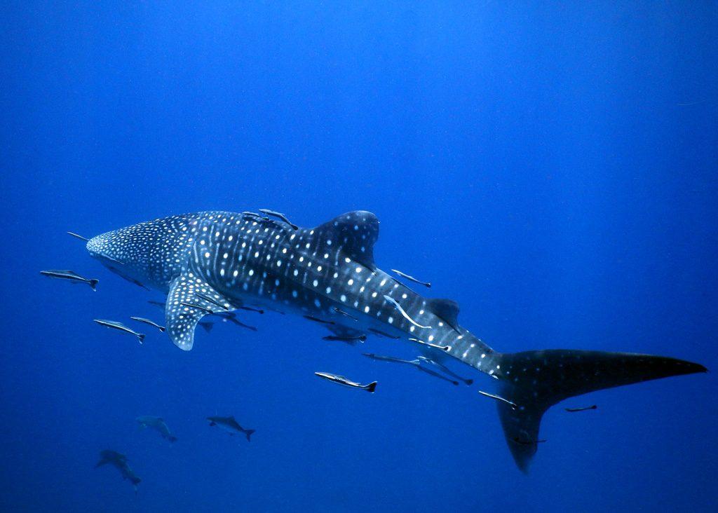 whale shark kenya