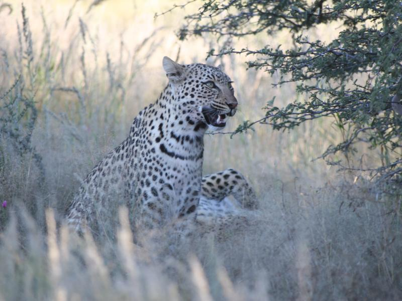 Leopards are elusive and can be more easily spotted on foot, with a guide