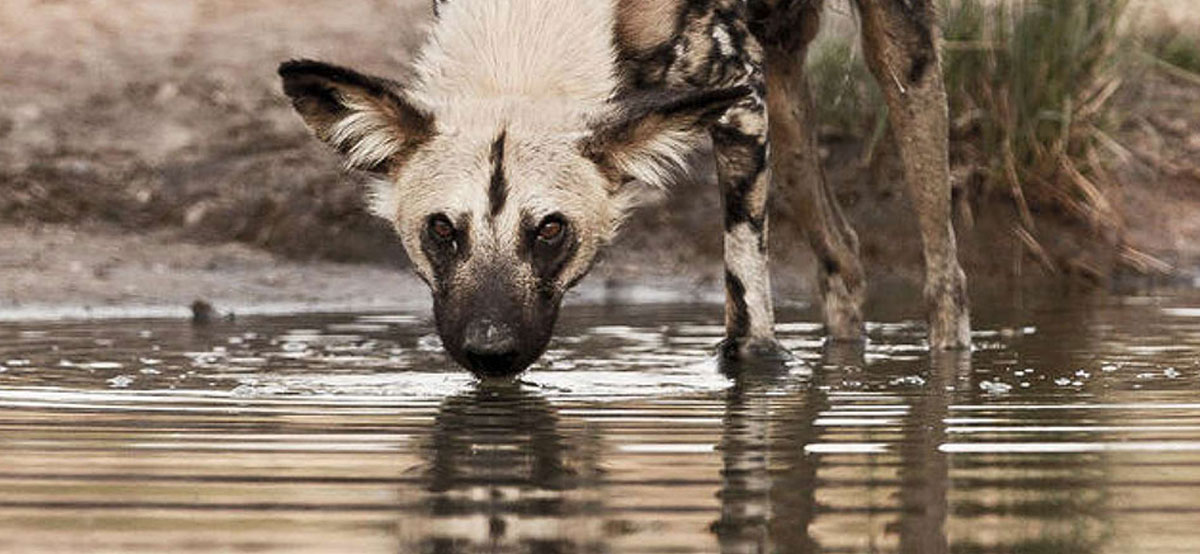 Wildlife in South Africa_wild dog
