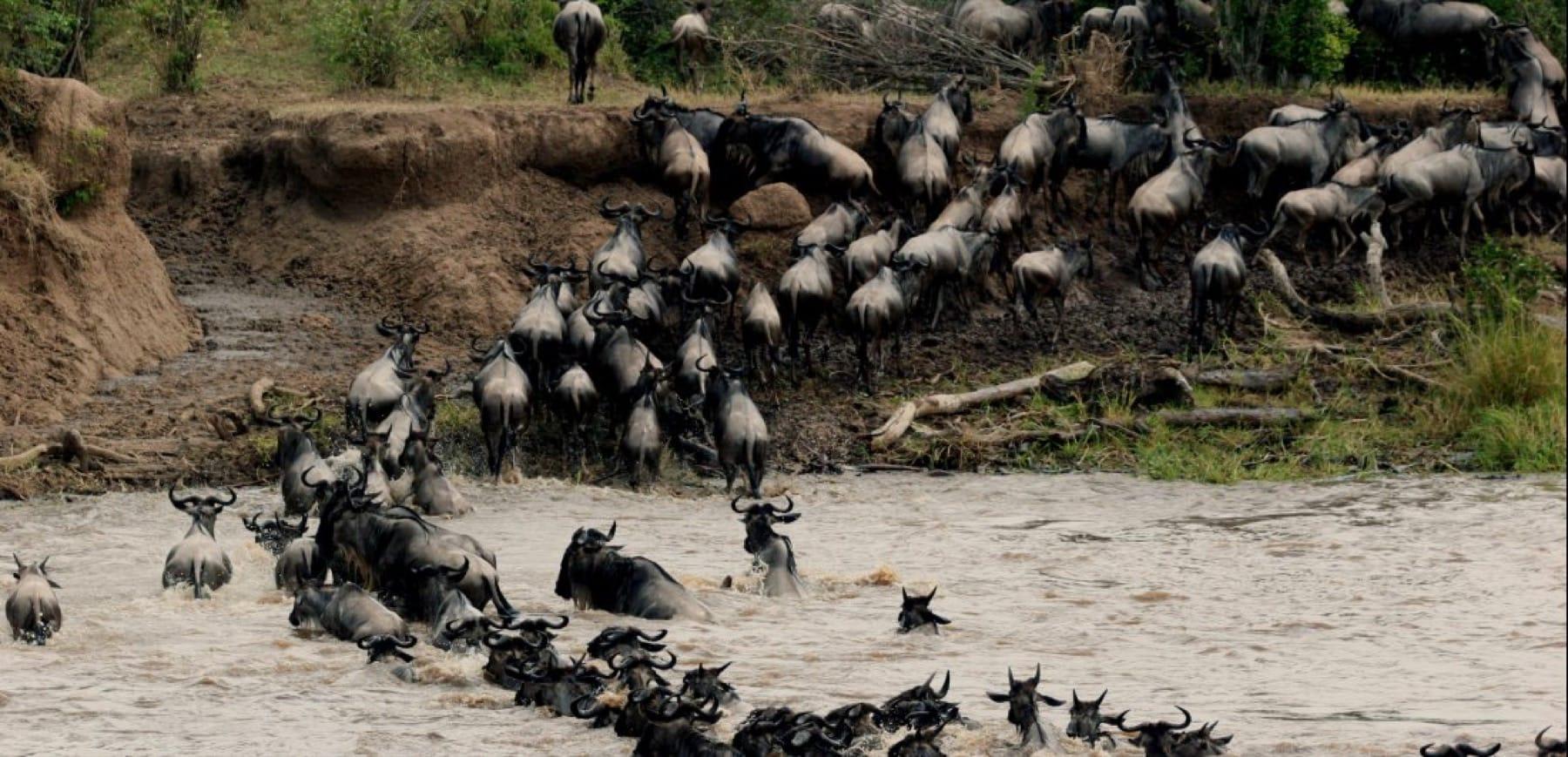 Wildebeest_Mara_Masai Mara