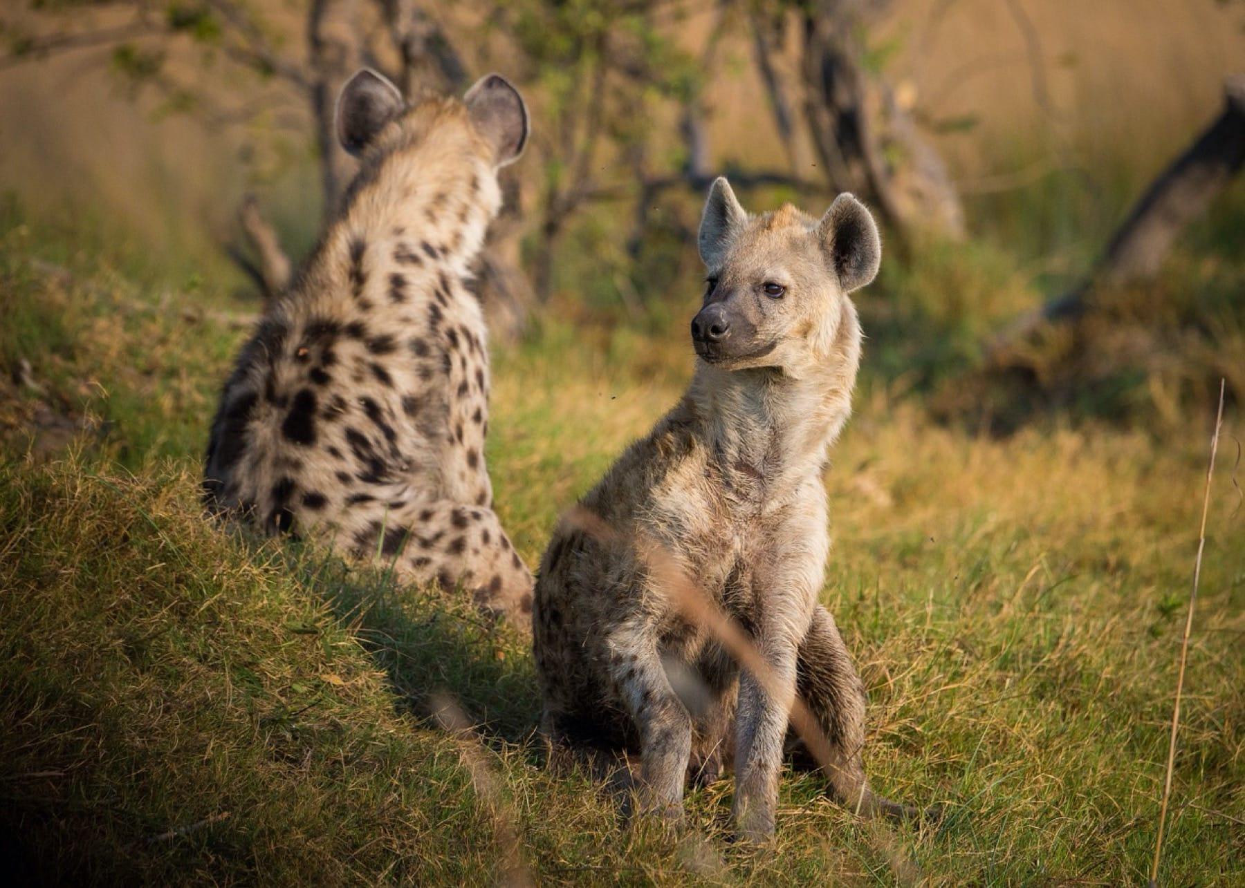 Wildlife_Kenya_Hyena_Masai Mara