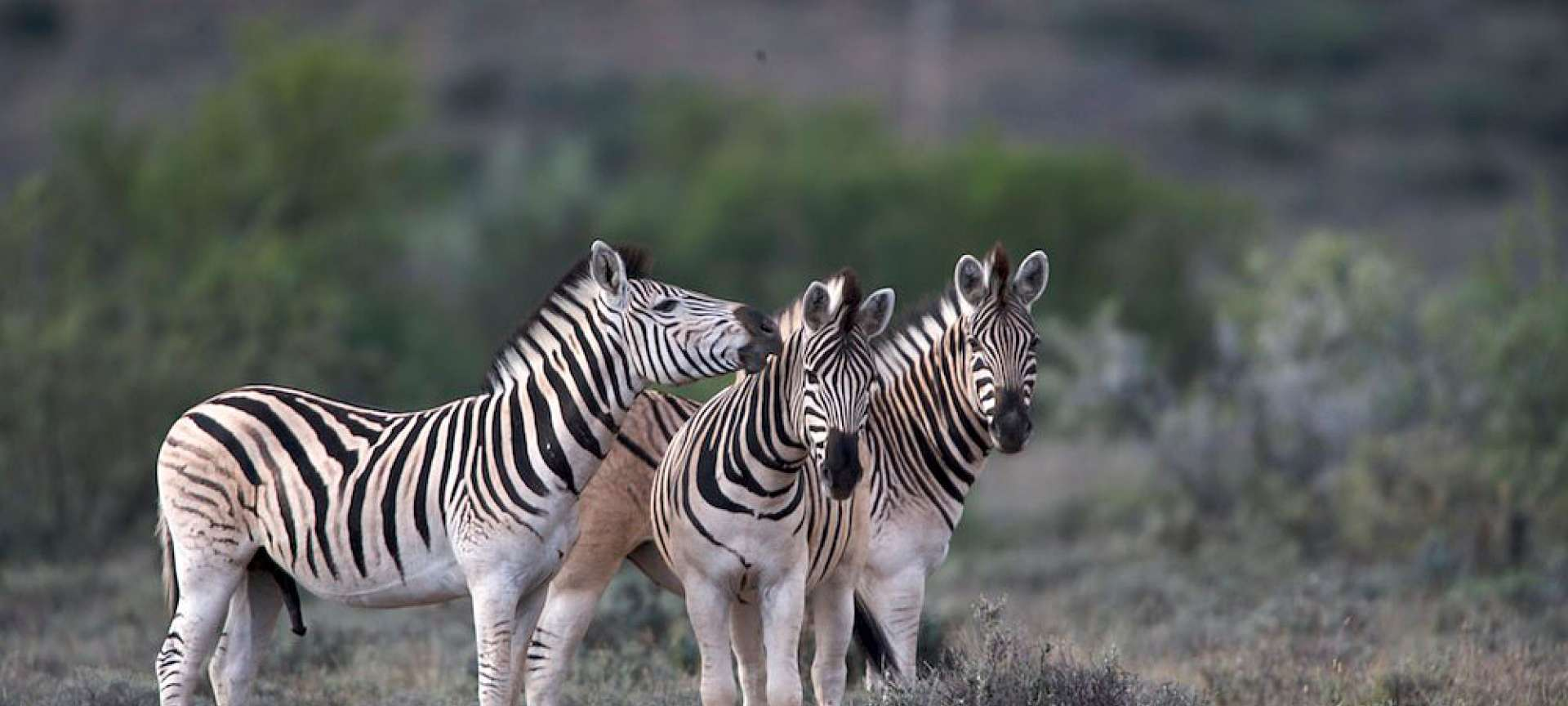 Wildlife in South Africa_Zebra Karoo National Park